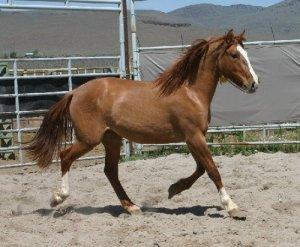 dun filly